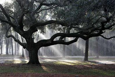 oak copy