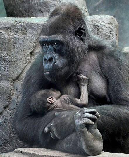 Elevation Station Gorilla